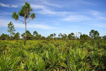 Saw Palmetto trees in the everglades