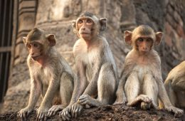 Potentially rabid monkeys sat on eastern temple tourism site
