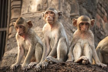 Potentially rabid monkeys sat on eastern temple tourism site
