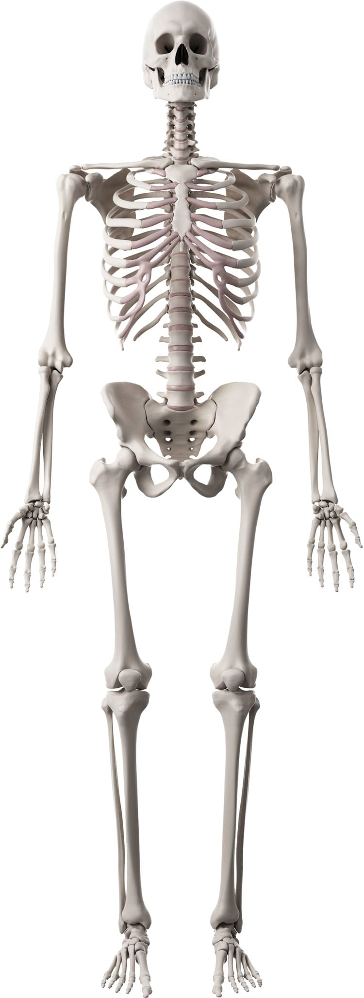 Human Skeleton With Bones Your Health